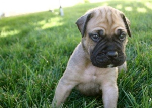Bullmastiff_Puppy_Picture